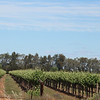 Day 26 - Vines between Hay and Narrandera