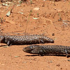 Day 24 - Lizards on the road to Merungi Gap (between Goolgowi and Rankin Springs)