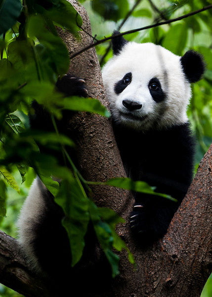 A giant panda at the Chengdu Research Base of Giant Panda