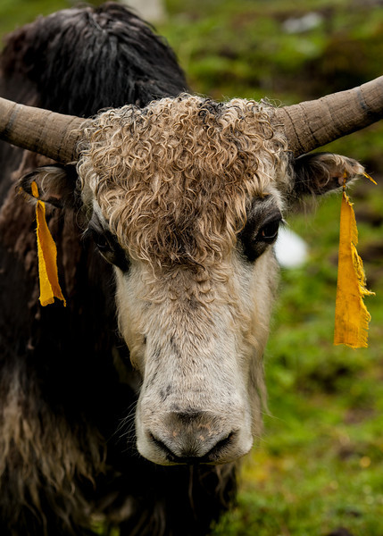 This is a dri.  The males are yaks