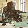AMNH - triceratops