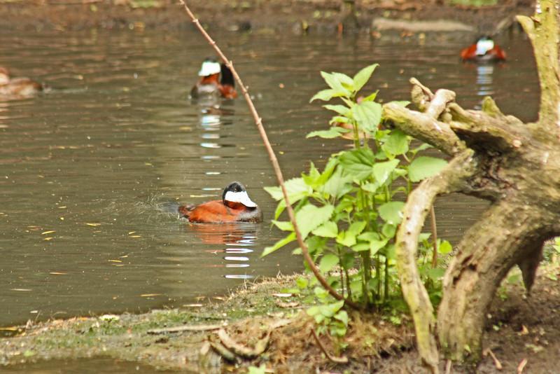 Bronx Zoo - ruddy ducks