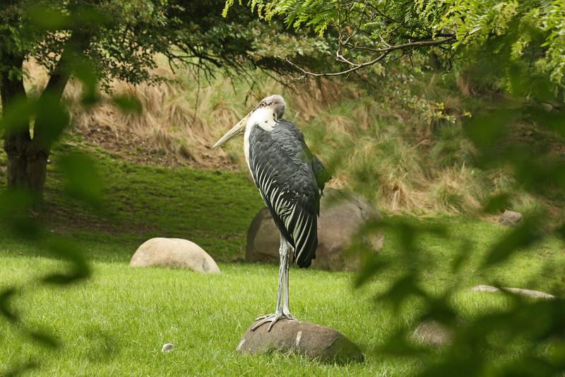 Bronx Zoo - marabou stork