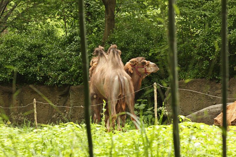 Bronx Zoo - camel
