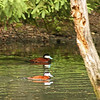 Bronx Zoo - ruddy ducks