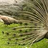Bronx Zoo - peacock and hen