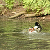 Bronx Zoo, ruddy duck and goldeneyes