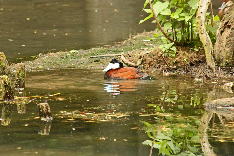 Bronx Zoo - ruddy duck