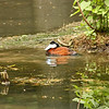 Bronx Zoo - ruddy duck