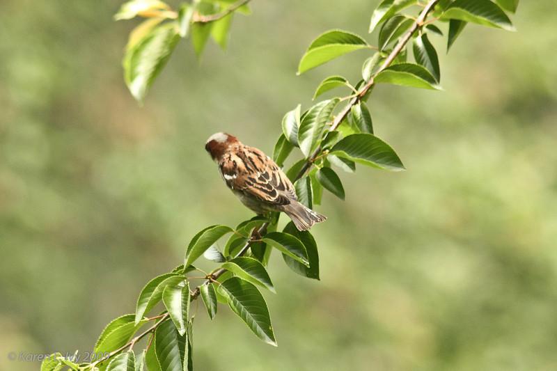 Central Park - sparrow