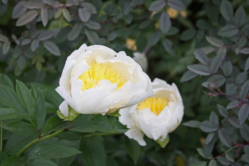 NY Botanic Garden - peonies