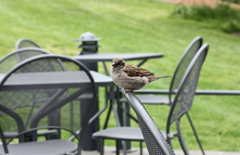 Sparrow in the lunch area, NY Botanic Gardens
