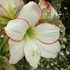 NY Botanic Garden - amaryllis