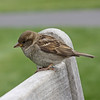 Sparrow, NY Botanic Garden - I was sitting on the other end of the bench!