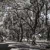 Live Oak trees in Savannah off Forsyth SQ