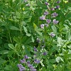 Purple Smoke False Indigo (Baptisia x 'Purple Smoke')