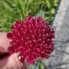 Field Scabious aka Pincushion Plant (Knautia macedonica)