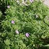 Bloody Cranesbill Geranium sanguineum