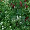 Crimson Clover (Trifolium incarnatum) and Spreading Chervil (Chaerophyllum procumbens)