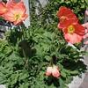 Oriental Poppy (Papaver orientale)