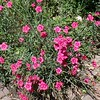 Pink (Dianthus)