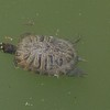 Bog Turtle (Clemmys Muhlenbergi)