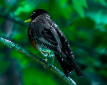 Robin - NY 2012  Copyright © 2012 - Photo by Barry Jucha