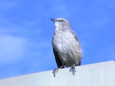 wild life in NYC, mocking bird
