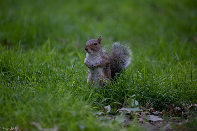 Squirrel in central park, New York, USA