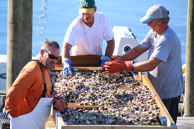 Oyster Sorting