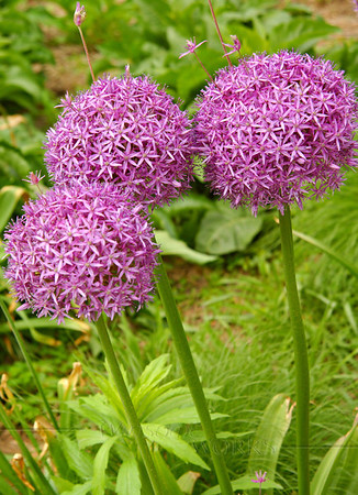 Purple Allium or Allium giganteum in Battery Park, Manhattan