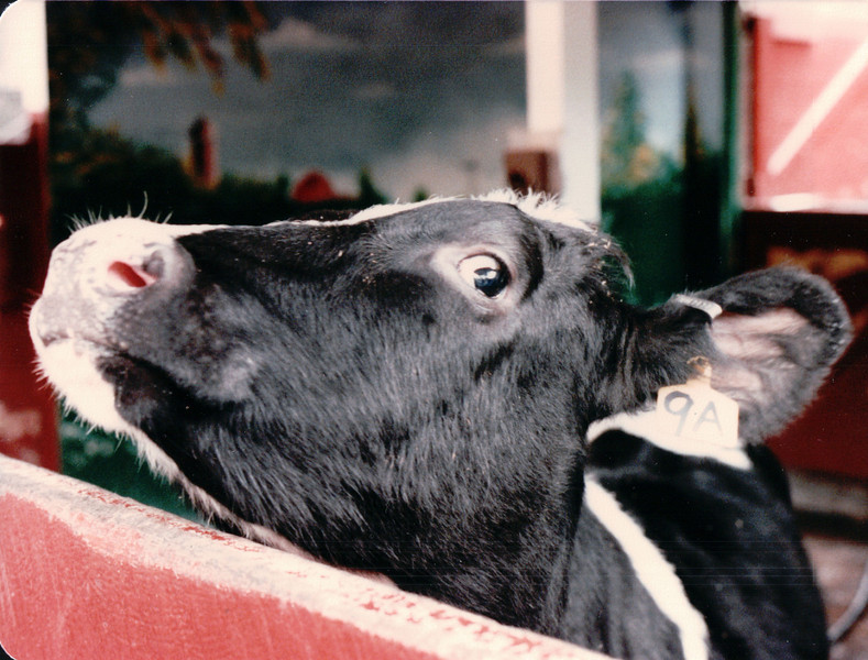 Cow - Central Park Petting Area - New York City, NY - 10/19/85