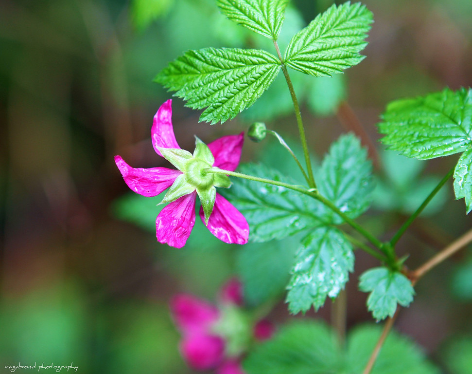 Pretty, tiny pink flowers, Cathedral Grove, Vancouver Island, BC