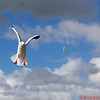 Shelly Beach, Seagull, aiming  for the french fry
