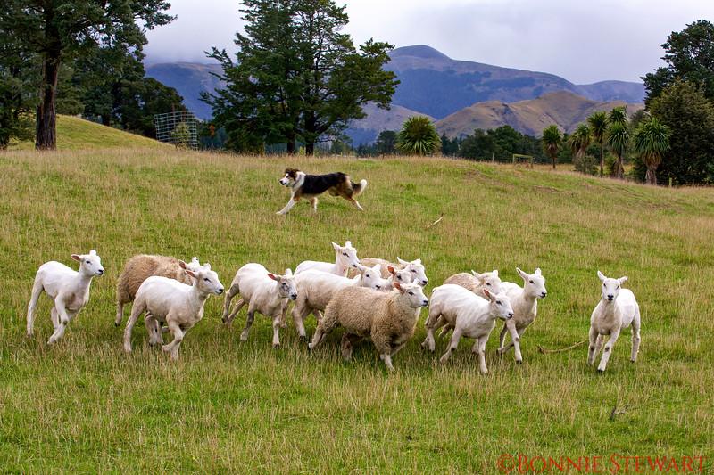 Border Collie Herding Sheep
