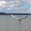 """Shelly Beach, Seagull - """"Where is the French Fry?"""""""