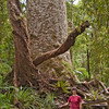 A Kauri tree -- not the largest.