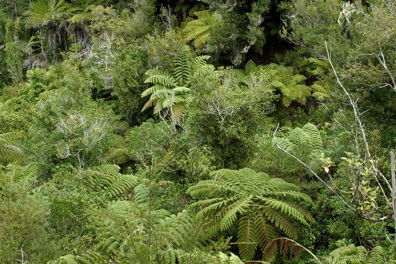 Tree ferns in Abel Tasman National Park.