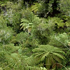 Tree ferns in Abel Tasman National Park.