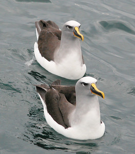New Zealand - Buller's Albatross