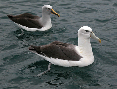 New Zealand - Buller's Albatross and White-capped Albatross