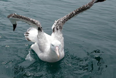 New Zealand - Wandering Albatross