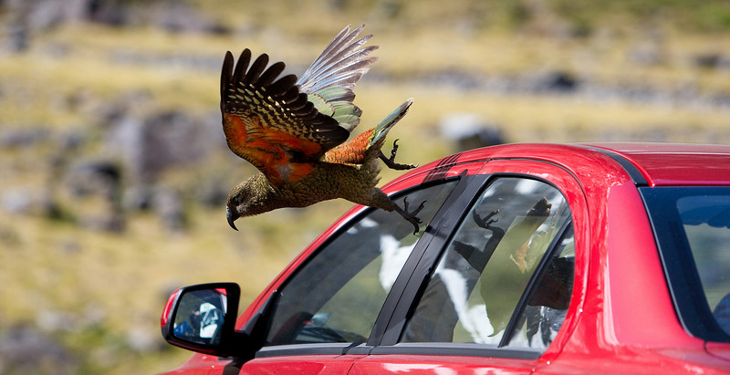 This is the Kea in its natural environment - parking lots. They love to eat the rubber off of cars. Hide your windshield wipers everyone....