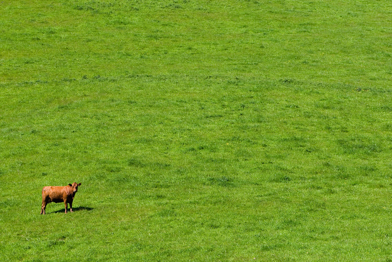 This shot sums up New Zealand for me. Absolutely intense green, with occasional livestock.
