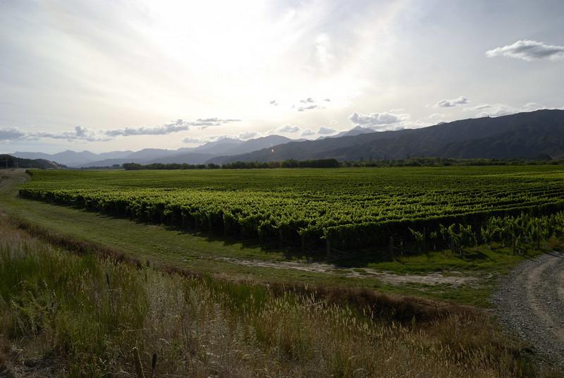 A vineyard near Renwick, Blenheim (Marlborough country).