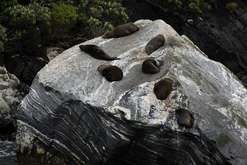 Seals, Milford Sound