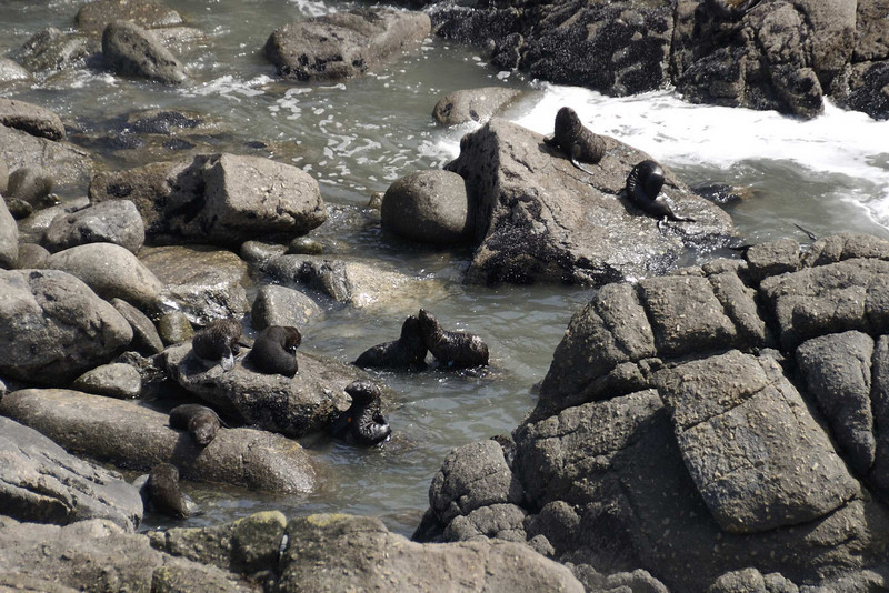 Seal colony at Cape Foulwind, Westport.