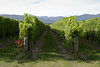 A vineyard near Renwick, Blenheim (Marlborough country).