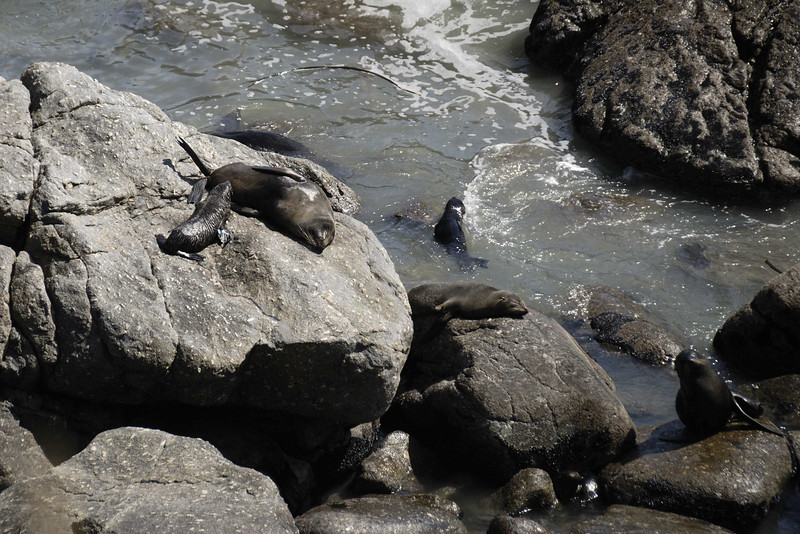 Seal colony at Cape Foulwind, Westport. A young tagged pup.
