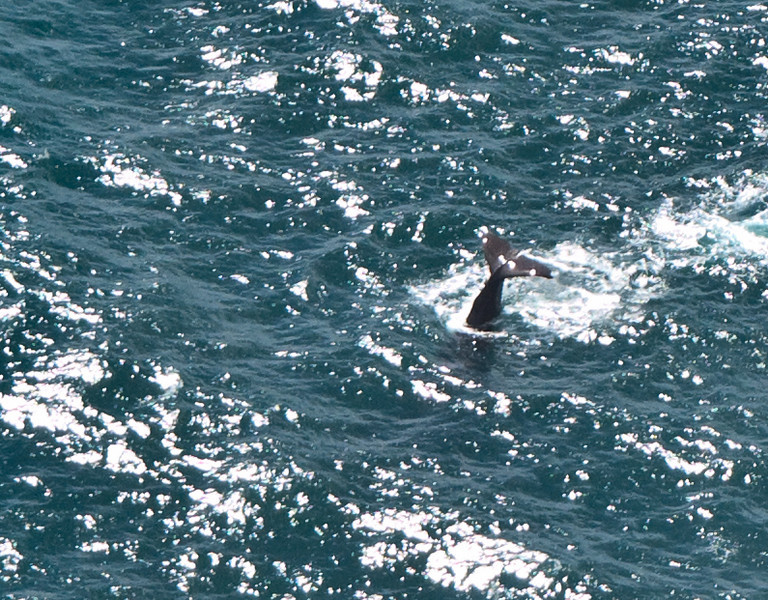 A sperm whale dives off the coast of Kaikoura